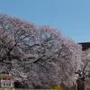 大田市~大根島までの桜